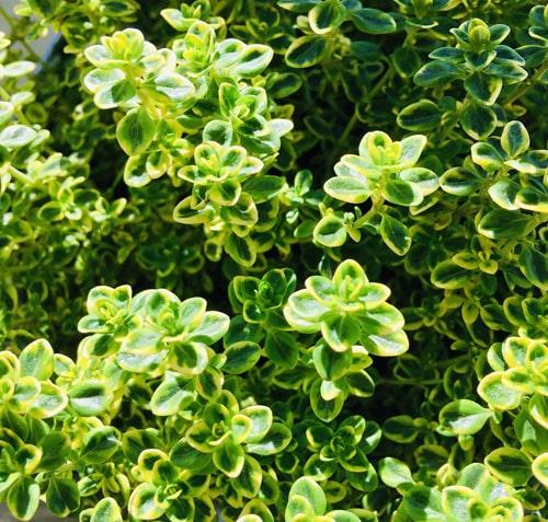 Grüner Spargelsalat